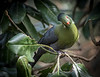 Livingstone's Turaco, 2015<br /> <br /> ©Gerald Diamond<br /> All rights reserved