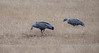 Cape Barren Geese, Kangaroo Island, Australia 2014<br /> <br /> <br /> ©Gerald Diamond<br /> All rights reserved