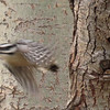 A Downy Woodpecker takes flight from an Aspen tree.