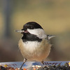 A little Chickadee picks up a sunflower seed.