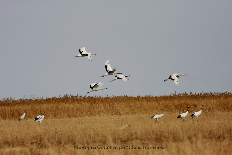 The endangered Red-Crowned Cranes. YanCheng, Jiangsu Province, China. There are only 400 of these left in the wild in the world today.  Dec 2009<br /> Canon 40D, 400mm F5.6L.<br /> Photograph©Chew Yen Fook