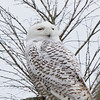 Snowy Owl in Virginia