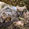 Pair of nestling Great Horned Owlets