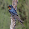 Barn Swallow, Marine Study Center