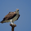 Osprey at Marine Study Area, July 11, 2014