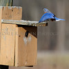 Eastern Bluebird landing on nesting box