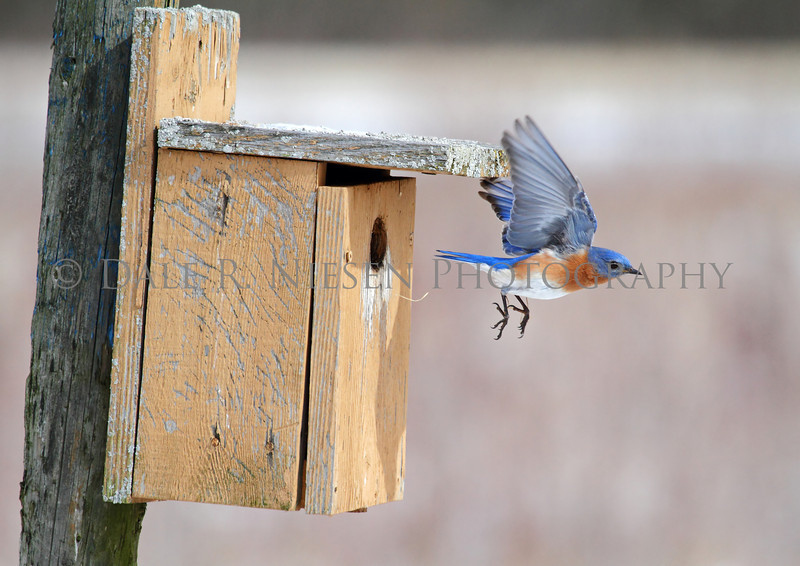 Eastern Bluebird exiting the nesting box