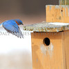Eastern Bluebird on approach to the nesting box