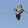 Great Blue Heron flying with nesting material at Kensington Metro Park, Milford, Michigan.