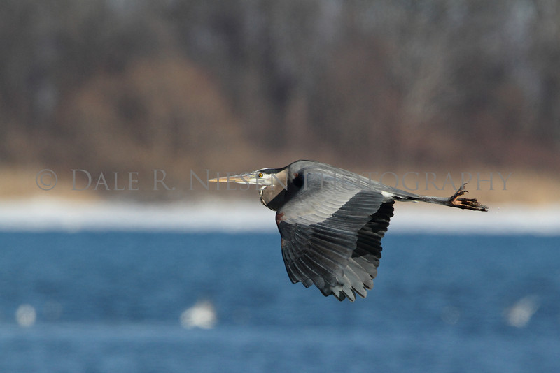 A Great Blue Heron in flight over the Detroit River.