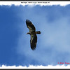 Bald Eagle - March 17, 2013 - Eastern Passage, NS