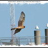 Northern Harrier - September 20, 2009 - Hartlen Point, Eastern Passage, NS