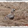 Rough-legged Hawk - March 13, 2011 - Dartmouth, NS