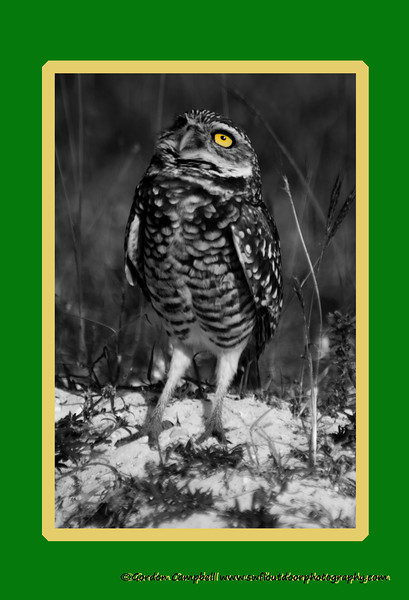 Burrowing Owl, Marco Island nature photography class by Gordon Campbell www.swfloutdoorphotography.com.  January, 2013.