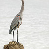 Great Blue Heron,  SwfloutdoorPhotography.com birds. October 2010.