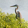 "Great Blue Heron by  <a href=""http://www.swfloutdoorphotography.com"">http://www.swfloutdoorphotography.com</a>, 4-7-11."