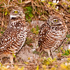 Burrowing Owls, Marco Island nature photography class by Gordon Campbell www.swfloutdoorphotography.com.  January, 2013.
