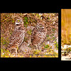 Burrowing Owl collage, Marco island nature photography class by Gordon Campbell www.swfloutdoorphotography.com.  January, 2013.