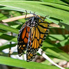 This Monarch butterfly had just emerged from the chrysalis and was in the process of drying its wings so it could fly. It took about an hour and then it flew off