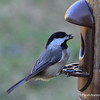This little chickadee decided he wanted his meal from the hanging feeder.