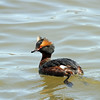 Horned Grebe - April 22, 2013, Maple Lake, Palos Area, IL