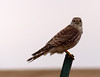 General consensus of opinion from Colorado Birder is that this is a Female Merlin (Falco columbarius).   Sighted on the eastern plains in Colorado, March 16, 2013.