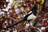 black-billed magpie in flowering plum