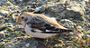 Snow Bunting Startops End Reservoir 15 Dec 2011