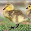 Goslings look so cute.