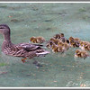 March 14 - First mallard ducklings (fr: canard colvert, lat: anas platyrhynchos) of the year 2012.