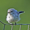 Blue-gray Gnatcatcher 8/25/13 in my yard