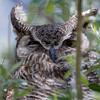 Great Horned Owl, female, Antelope Island, tending two chicks