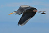 Great Blue Heron Viera Wetlands Melbourne, Florida 251-9727a