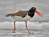 American Oystercatcher, San Louis Pass, Texas