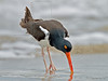American Oystercatcher,<br /> San Louis Pass, Texas