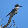 Belted Kingfisher. Kings Bay. Crystal River, Florida