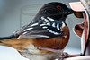 Spotted Towhee - I was shooting for its bright red eye. A sparrow!
