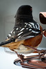 Spotted Towhee, leaving,