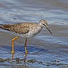 Lesser Yellowlegs at Swan Lake