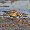 Baird's Sandpiper at Swan Lake- Carrol Co