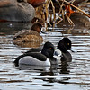 Ringed-necked Duck and Lesser Scaup comparison- Hendrickson Marsh 3/26/14