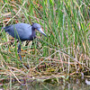 Little Blue Heron<br /> <br /> Everglades National Park, Florida