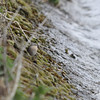 Water Pipit , Marsworth