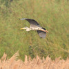 Grey Heron, Marsworth