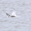 Common Tern, Marsworth