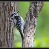 Downy woodpecker (fr: pic mineur, lat: picoides pubescens), smallest woodpecker in North America. Should there not be black spots on the the white tail feathers? Taken near Englewood, OH.
