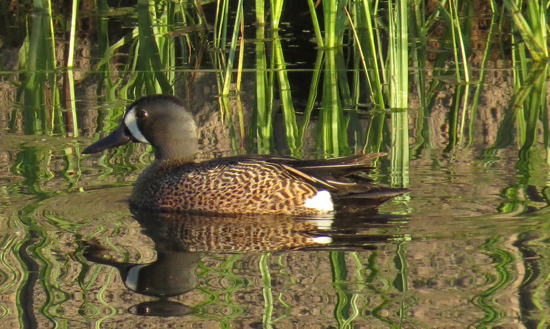 Blue-winged Teal, male (Anas discors)