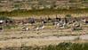 Bando de Gansos-bravos (Anser anser)<br /> Flock of Greylag Geese