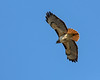 Red-tailed Hawk, flying over, near Lake Merced.