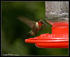 Ruby-throated Hummingbird (male) (Archilochus colubris)